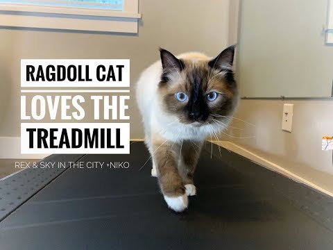 Ragdoll cat loves the treadmill! | Ragdoll kitten