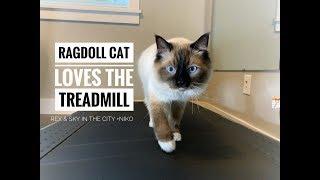 Ragdoll cat loves the treadmill! | Ragdoll kitten