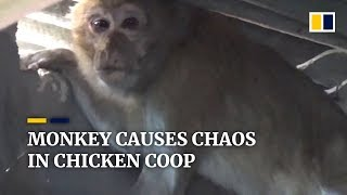 Monkey causes chaos in chicken coop in southwest China