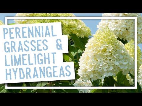 Gardening With Perennial Grasses Limelight Hydrangeas Youtube