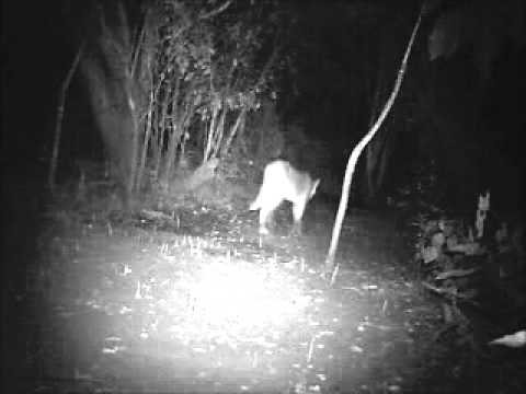 Camera trap compilation from Three Giants Station, Paraguay