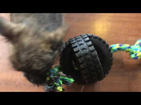 Isaac And Ignus Cairn Terrier Puppies