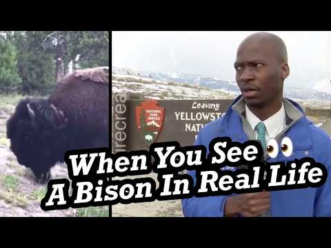 Deion Broxton Reaction When A Bison Herd Approaches At Yellowstone 🤣