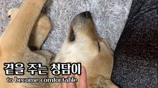 [Eng] Korean Jindo dog 곁을 주는 진…