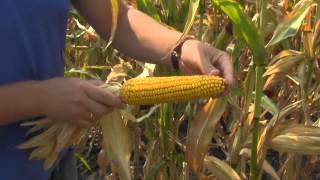 Осмотр участка гибридизации кукурузы НС 300