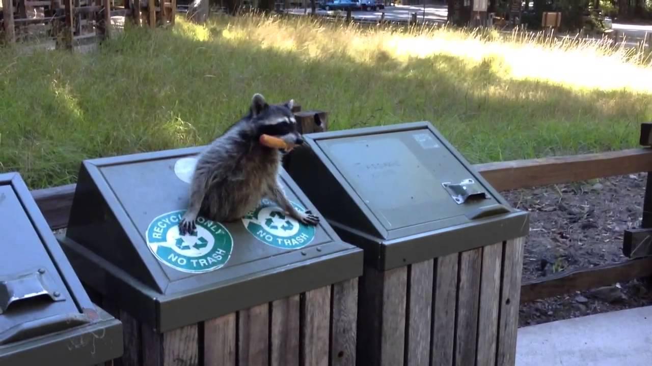 Raccoon at Big Basin & Raccoon at Big Basin - YouTube