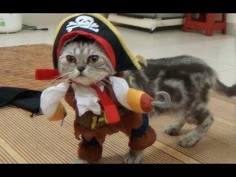 Funny Viral Video Cat Walking In Pirate Costume Cat In ...