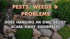 Does Hanging an Owl Decoy Scare Away Squirrels?