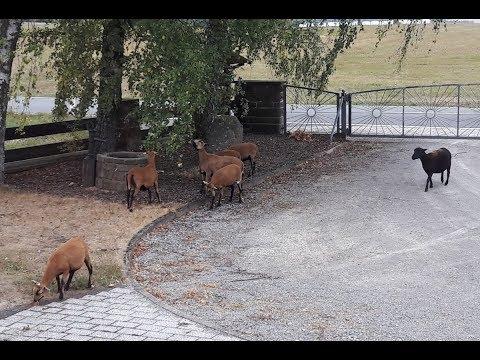 Schafe - Kamerunschafe - Rasenmäher und Haustiere - cameroon sheep - happy sheep