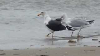 151107-12.00-Terschelling-herring and lesser-black backed gull (probably territorial behaviour)