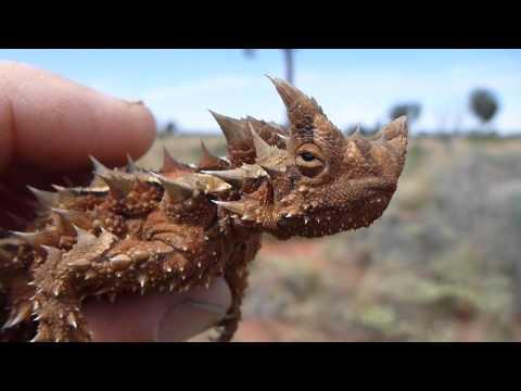 Thorny Devil near Olgas NT Australia