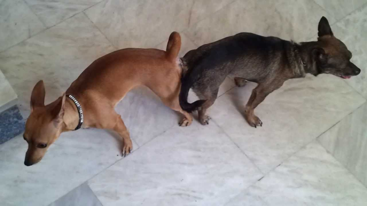 Mirella [Mini Pinscher] Dog Mating and get stuck, Dog ...