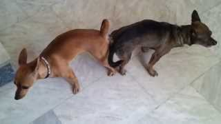 Mirella [mini Pinscher] Dog Mating And Get Stuck, Dog Breeding, Mating Tie, Breeding Tie