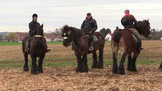 "Belgian Draft Horses: the famous horse gallop around the ""Tiense Berg"" in Hakendover"