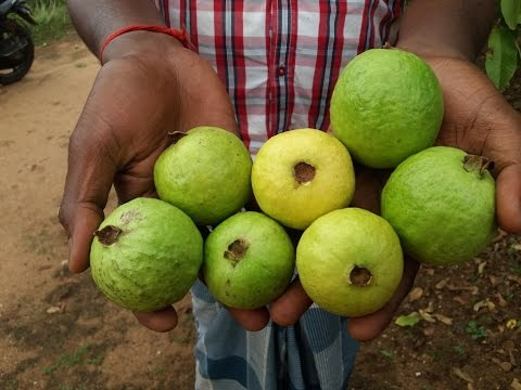 Picking Guava Fruit How To Eat
