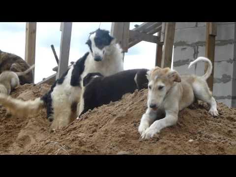 Борзые щенки в песочнице)