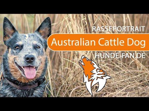 Australian Cattle Dog [2018] Rasse, Aussehen & Charakter