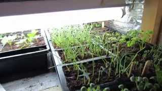 Early February 2015 Vegetable Garden Update: Seed Starts Look Good! - Trg 2015