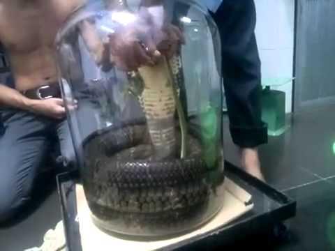 đại hổ mang 30kg có 1 không 2 ở Việt Nam