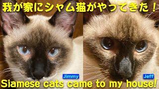 我が家にシャム猫がやってきた!/Siamese cats came to my house!