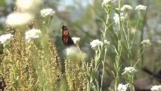 полдень сингуль цветет