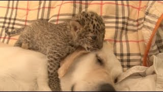 Endangered Leopard Mothered by Retriever, Accompanied by Lion, Tiger and Shepherd Dog
