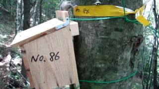 木製巣箱からヤマネが出てきて… 木の幹を駆け上がった、その時… 木から...