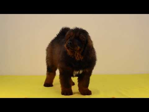 Tibetan Mastiff Puppies Fargo Asantiko