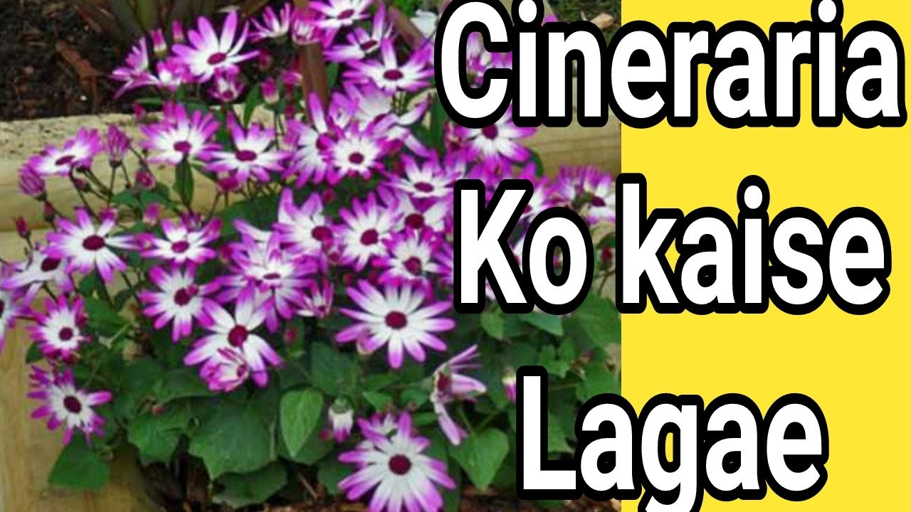 How to grow cineraria plants tips care in hindi urdu youtube how to grow cineraria plants tips care in hindi urdu izmirmasajfo