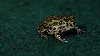 3 Cool Facts about Pixie Frogs | Pet Reptiles