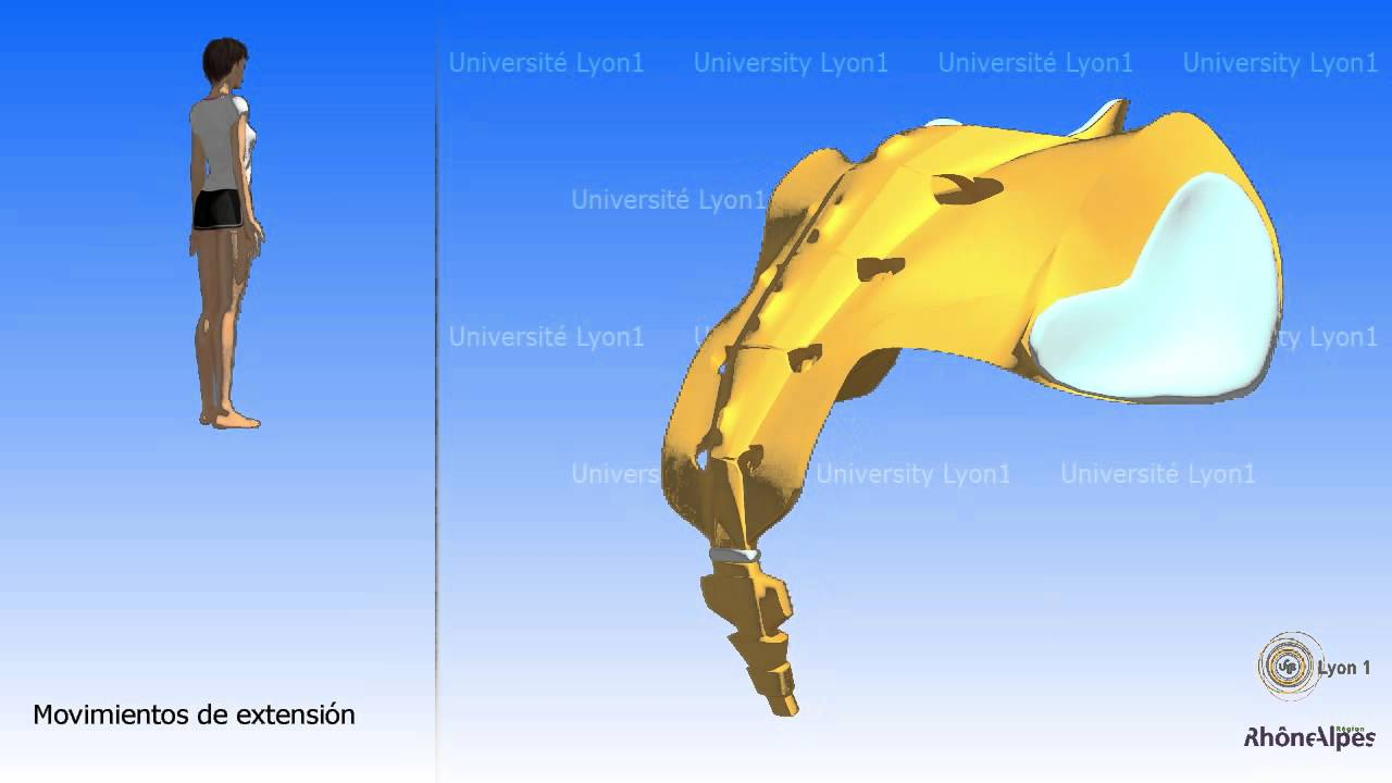 Artrología de la pelvis La articulación sacro coccígea - YouTube