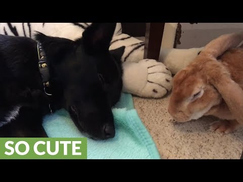 Puppy and bunny rabbit adorably relax together
