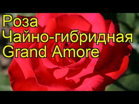 Роза чайно-гибридная Гранд Амур. Краткий обзор, описание характеристик, где купить Grand Amore