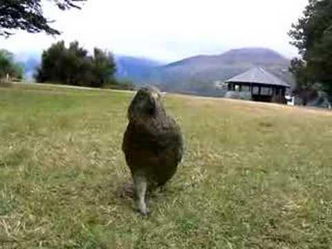 Kea attack NZ
