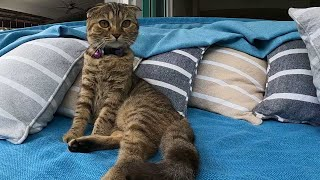Cat Video in 4K Ultra HD Format. An Evening with Scottish Fold Little Scottish Fold Cat
