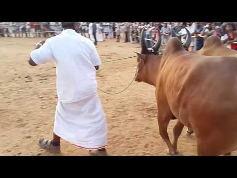 Kangayam bulls in SENAAPATHY CATTLE SHOW  (checking teeth for bullock cart bulls)
