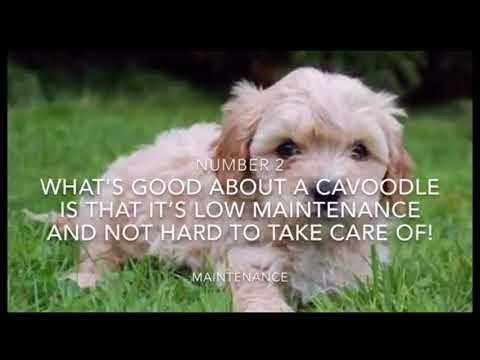 Why You Should Buy a Cavoodle