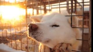 What Will White Husky Dogs Do In North Pole ?