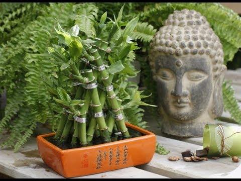 Желтеет ствол и листья БАМБУКА СЧАСТЬЯ | Что делать? Проблемы с ДРАЦЕНОЙ САНДЕРА и их решение