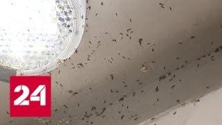 Смотреть видео Красноярск беззащитен перед полчищами тополиной моли - Россия 24 онлайн