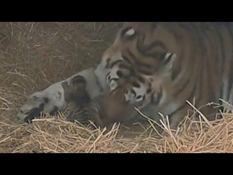 Endangered tiger gives birth to three cubs at Toronto Zoo