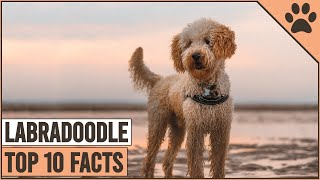 Labradoodle Dog Breed  Top 10 Facts | Dog World