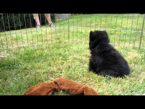 5 wk old Schipperke puppy barking.  5 Aug 2010.
