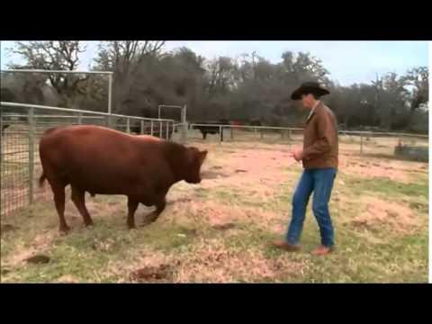 Low Stress Cattle Handling (C2C)