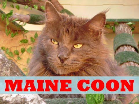 *Maine Coon* Katze Cat - Entwicklung vom Kitten zum Kater