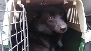 Успешная перевозка двух собак в одном боксе в машине на дачу