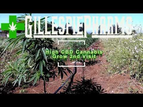 High CBD Industrial Hemp Grow 2nd Visit