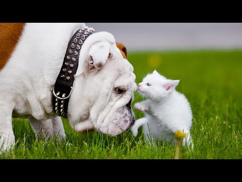 Dogs Meeting Kittens for the First Time Compilation (2016)