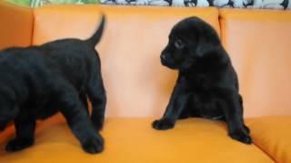ブラックのラブラドール子犬姉妹!!<子犬の利根リバーサイド・http://...