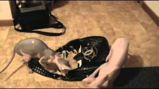 S*Vintermånen´s Memphis Nude CheerLeader